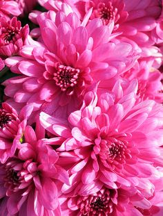 Garden Chrysanthemum Belgian Mum® Coparo Garden Mum, Chrysanthemum, Gardens, Rose, Flowers, Plants, Pink, Outdoor Gardens, Plant