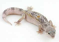 Aww look at this leopard gecko