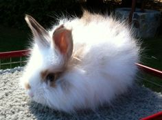 A broken fawn english Angora baby bunny