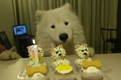 Akim´s Birthday :) Happy with his sammy cupcakes.. very cute! #samoyed #Dog #birthday