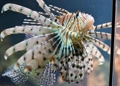 Pterois volitans (en) Red Lionfish, (de) Rotfeuerfisch, (fr) Poisson-scorpion, Rascasse Volante, (nl) Koraalduivel