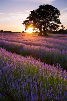 Sunset Lavender (by Olly Plumstead) Beautiful World, Beautiful Places, Beautiful Pictures, Le Colorado, Lavender Fields, Nature Pictures, Beautiful Landscapes, Planting Flowers, Nature Photography