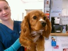 Winston is an adoptable Cavalier King Charles Spaniel Dog in Ringwood, IL. Winston is a beautiful King Charles Cavalier with a great personality! He is super playful and loves to interact with other d...