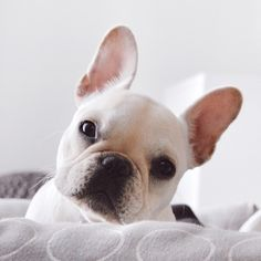 """""""Is it Monday again?"""" French Bulldog Puppy"""
