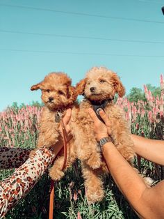 Mini Cockapoo, Cockapoo Puppies, Getting A Puppy, Teddy Bear, Toys, Animals, Activity Toys, Animales, Animaux