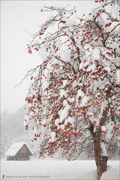 "Winter snow laden tree with red berries Shirakawago, Gifu, Japan by Martin Bailey. DESCRIPTION ""Persimmon tree still with fruit in mid-winter. Shot at the Unesco registered town of Shirakawago in Gifu Prefecture. Winter Szenen, I Love Winter, Winter Magic, Winter Christmas, Winter Travel, Winter Colors, Country Christmas, Winter White, Merry Christmas"