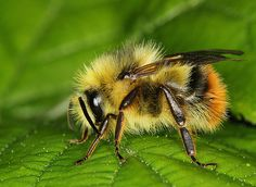 Bumble Bee - Bombus sp.