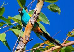 Perico Capirotado (Psephotellus dissimilis) --> De 25,5 a 28 cm. de longitud y un peso entre 50 y 60 gramos. El Perico Capirotado (Psephotellus dissimilis) es una especie muy llamativa, restringida a los bosques secos del norte de Australia. El macho tiene un capuchón negro, sus partes inferiores son de color turquesa con un parche en los hombros de color amarillo dorado. Las hembras son de color verde claro con una difusión turquesa pálido en las mejillas, abdomen y cadera.