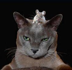 Il topo coraggioso o il gatto paziente?    (Andrey Katashev - G+)