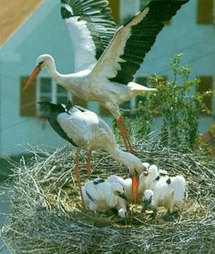 white storks and chicks