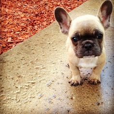 This puppy looks like he could use a nap... #cute #frenchie