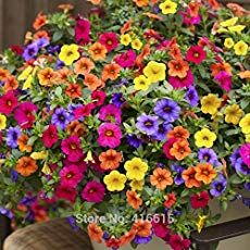 Cheap garden hanging, Buy Quality garden color directly from China garden flower lights Suppliers: Heirloom Hanging Petunia Mixed Seeds Color Waves Hanging Basket Petunia Beautiful Flowers Light Up Your Garden Hanging Flower Baskets, Hanging Plants, Petunia Plant, Petunia Care, Home Garden Plants, Garden Planters, Indoor Flowers, Flower Lights, Container Flowers