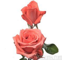 movie star salmon rose