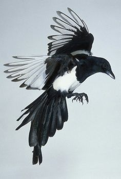 Thieving Magpie Tattoo I like the idea of having a tattoo of a magpie in this position... but from bird's eye view.
