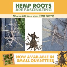 #HempRoots are pretty awesome. What do you know about hemp roots? We are going to be offering hemp roots for a limited time for educational, and artistic purposes: bulkhempwarehouse.com/american-hemp-root-novelty-1-root-bulb Pretty Cool, Hemp, Did You Know, Warehouse, Roots, Bulb, American, Awesome, Artist