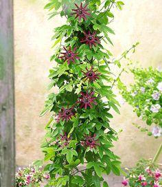 -passionsblume-ladybirds- Kletterpflanzen