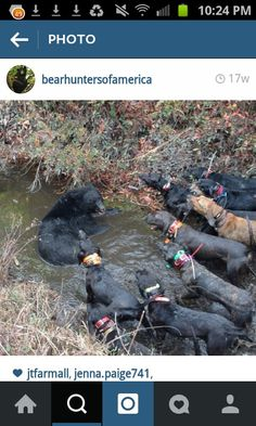 """Does this look """"ethical"""" to you? Does it look courageous to you? To me it looks like a vile abuse. An exercise in cowardice and avidity. Killing a bear for what? For a shitty carpet? Put your dog in danger fir what? To feel a rush of adrenaline? Disgusting and coward scumbags! Unfortunately it happens all the time in Wisconsin."""