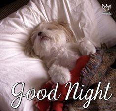 Shih Tzu bedtime