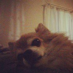 日ぶりの添い寝  #dekachiwa #chihuahua #dog #チワワ #ふわもこ部 #chihuahuaofinstagram
