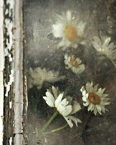 Daises in the window ✿⊱╮