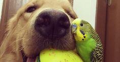 Bob es un perro golden retriever que vive en San Pablo, Brasil considerado el perro más amistoso del mundo, ya que vive junto al menos ocho aves y un pequeño hamster llamado Cody. Todos en completa armonía bajo el mismo techo.