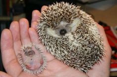 "Mama hedgehog and baby hedgehog (who looks like it is riding a roller coaster and yelling ""whee!"")"