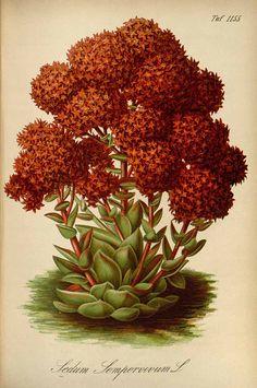 Rosularia sempervivoides (Fischer ex M. Bieberstein) Borissova [as Sedum sempervivum Ledeb.] Gartenflora [E. von Regel], vol. 33: t. 1155 (1884)