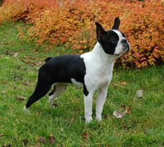 **** Boston Terrier 15-25 lbs. Tends to wheeze and snore due to their short noses.  Easily house trained, with time and patience, can learn obedience as well as tricks.