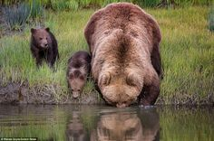 These are the amazing scenes as a brown bear was spotted giving her two cubs a piggy-back over a narrow creek inside the Lark Clark national park in Alaska.