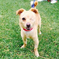 2015 This spunky little girl named Leela loves to play but loves hanging out in your arms even more. She is a year old Pomeranian chihuahua mix who gets along well with other dogs and children.