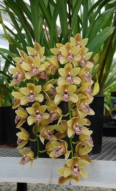 New Horizon Orchids   New Horizon Orchids Flower