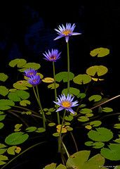 Water Lily at Governor's Mansion | by Don J Schulte