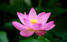With its presence dating back to 145.5 million years ago, the lotus flower is one of the most commonly used symbols throughout the history. It has been a significant symbol for several religions and cultures, particularly Hinduism and Buddhism. Rebirth and Enlightenment As Common Symbolism In general, the lotus flower is mainly considered as a symbol of