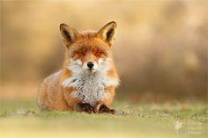 Natuurmeditatie: vossen in aanstekelijke ontspanning | Paradijsvogels Magazine