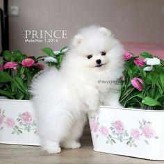 Buy & Sell POMERANIAN puppies online https://www.dogspuppiesforsale.com/pomeranian
