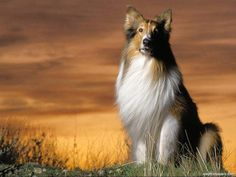 lassie the collie breed has become . Funny Cute Cats, Cute Cats And Dogs, Funny Dogs, Dogs And Puppies, Doggies, Dogs 101, Best Dog Breeds, Best Dogs, Welsh Sheepdog