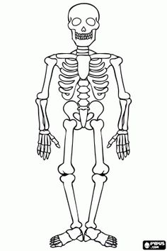 Human skeleton for Halloween celebration colouring page / Dekokin Skeleton Drawing Easy, Human Skeleton For Kids, Skeleton Craft, Skeleton Drawings, Halloween Drawings, Easy Drawings, Picture Of Human Skeleton, Halloween Pictures To Draw, Dragon Skeleton