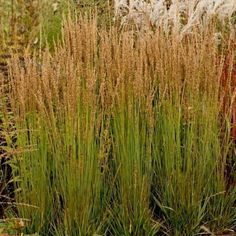 Molinia caerulea 'Moorhexe' (Pijpestrootje), smal donkergroen blad, korte stevige stengels, prachtige herfstkleur, in voorjaar afknippen tot 10-15cm, verdragen geen kalk