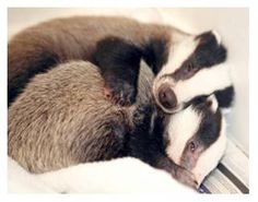 Image result for frosty and coco. badger Animals And Pets, Baby Animals, Funny Animals, Cute Animals, Beautiful Creatures, Animals Beautiful, Badger Illustration, Honey Badger, Baby Badger