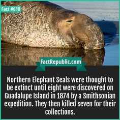 Northern Elephant Seals-Northern Elephant Seals were thought to be extinct until eight were discovered on Guadalupe Island in 1874 by a Smithsonian expedition. They then killed seven for their collections.