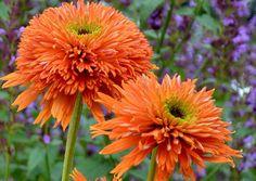 Terra Nova Nurseries - Home Gardeners - Echinacea 'Colorburst Orange'