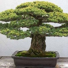 A 383-year-old Japanese white pine on display at the U.S. National Arboretum