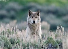 Choose your favorite wolf photographs from millions of available designs. All wolf photographs ship within 48 hours and include a money-back guarantee. Wolf Photos, Wolf Pictures, Animal Pictures, Beautiful Creatures, Animals Beautiful, Cute Animals, Wild Animals, Majestic Animals, Magical Creatures