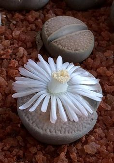 Lithops  Use these succulents to create an underwater looking garden that resembles coral life Drought friendly