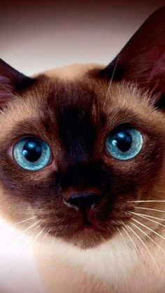 My favorite breed! I Love Cats, Crazy Cats, Cute Cats, Pretty Cats, Beautiful Cats, Siamese Cats, Cats And Kittens, Animals And Pets, Cute Animals