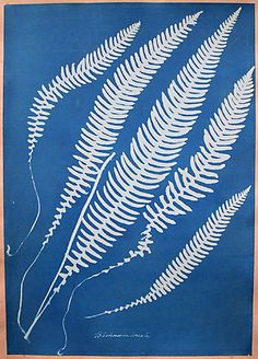 Cyanotype by Anna Atkins (?)