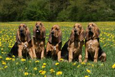 Bloodhound Puppies Pictures