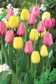 Pink Lemonade Mix Tulip Flower Seeds 50 Stratisfied Seeds ** Check this awesome image  : Gardening Flowers