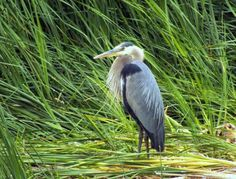 Big Blue Heron: A Great Blue Heron looking for supper, in the pond.  I will also post this picture on our facebook page.
