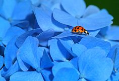 Lady-bug on Hydrangea